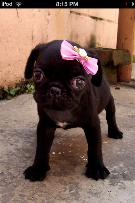 the cutest pug in the world this is the most cutest thing in the whole world puppy parade pics