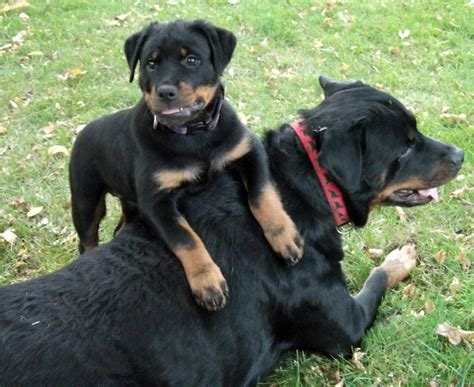 baby rottweiler puppies the gallery for gt baby rottweiler