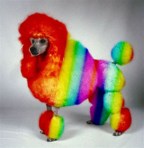 rainbow puppy rainbow poodle rainbow poodle jpg grooming poodles comment and