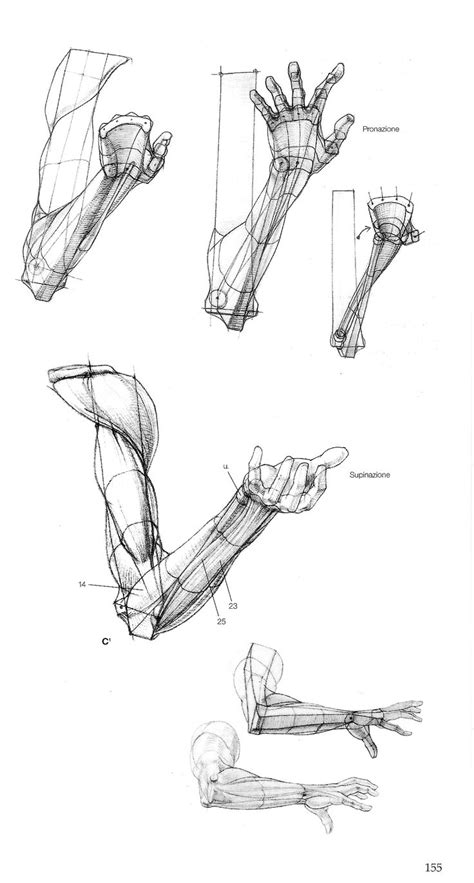 Drawing Anatomy by 245 Best Images About Anatomy Arms On