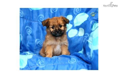 shipom puppies meet ranae a shih tzu puppy for sale for 450 ranae adorable shi pom puppy