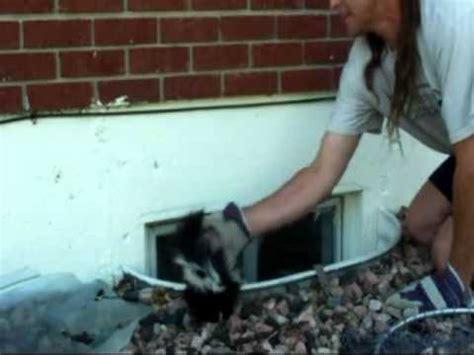 got sprayed by a skunk baby skunk versus doovi