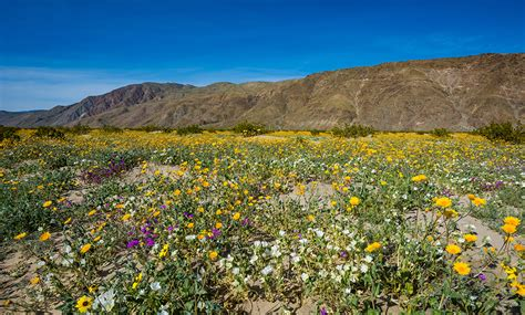 anza borrego super bloom anza borrego desert state park wildflower super bloom