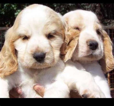 perros de raza cocker imagenes cocker spaniel ingl 233 s fotos tu amigo el perro