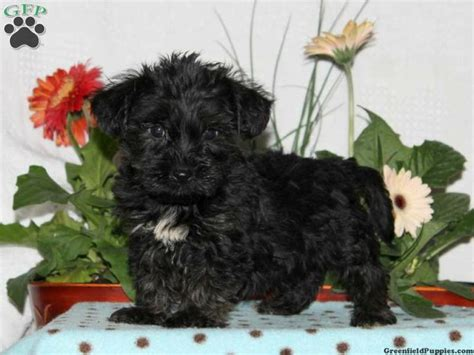yorkie chon puppies for sale in pa luke yorkie chon puppy for sale from rising sun md to