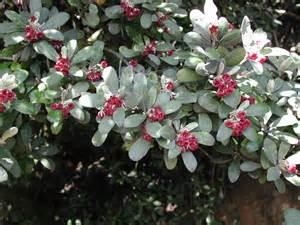 Shrub Flowers - file pittosporum crassifolium foliage amp flowers jpg