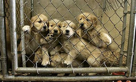 where to sell a puppy u s city now legally requires pet stores to only sell rescue animals
