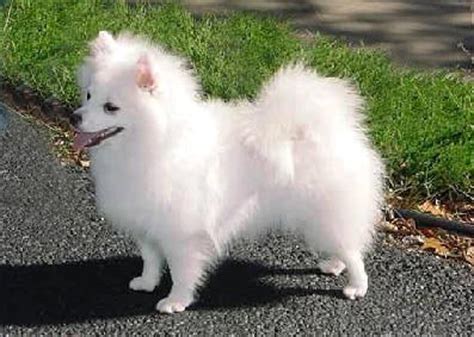 american eskimo pug mix pug puppies and dogs for sale in usa