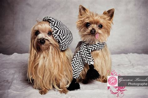 yorkie winter coats yorkies dressed up for winter quot yorkies for sissy quot