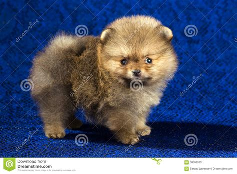 pomeranian age pomeranian puppy age of 1 5 month blue background stock photo image 58567573