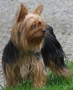 silky terrier hair cut silky vs yorkie dog breeds picture