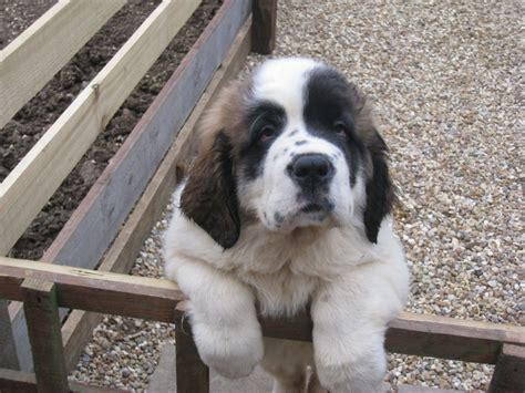 can puppies leave at 6 weeks st bernard puppy 6 months peterborough cambridgeshire pets4homes