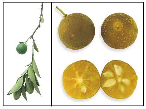 Benih Biji Jeruk Kalamondin Citrus Microcarpa kalamansi citrus microcarpa orange gan philippine medicinal herbs alternative