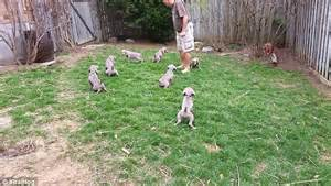 dog peeing all over house ontario dog breeder trains seven week old puppies urinate on command daily mail online