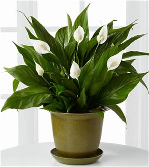 peace lily in bathroom 5 plants that help improve indoor air quality e b carpet