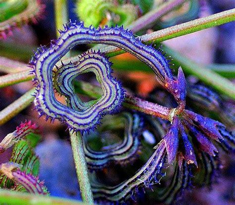 Cool Small Palnts To Grow Prickly Caterpillar Bean 15 Seeds Scorpiurus Muricatus