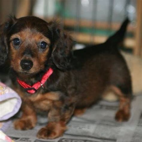 hair weenie haired dachshund puppy 8 weeks weenie dogs we puppys and