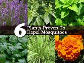 6 plants proven to repel mosquitoes
