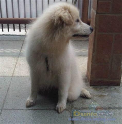jual mix samoyed akita kaskus dunia anjing jual anjing lainnya mix breed jual