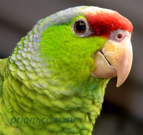 amazon parrot lilac crowned amazon from priam parrot breeding
