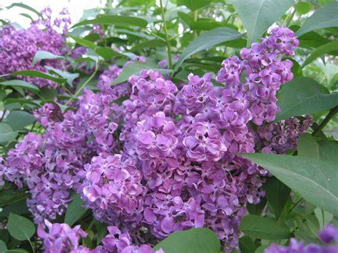 color wiki lila color la enciclopedia libre