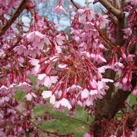 prunus okame small flowering cherry blossom trees for sale