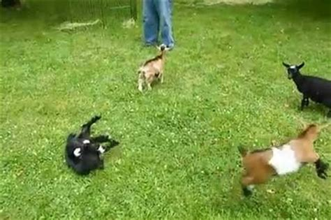 baby goat jumps other baby goats