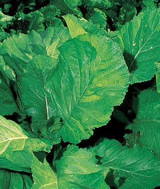 florida broad leaf mustard seeds  plants vegetable