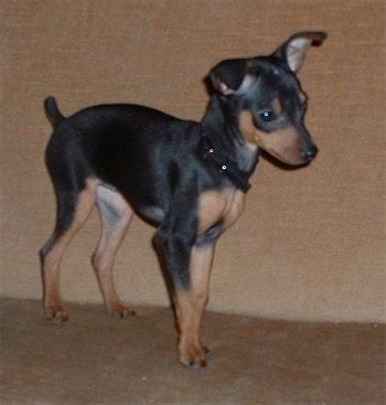 min pin puppy miniature pinscher breed pictures 4