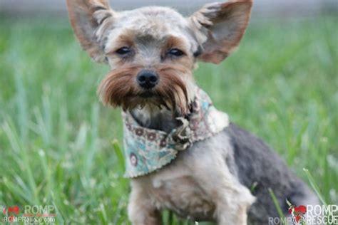 yorkie adoption chicago chicago terrier adoption romp italian greyhound rescueromp italian