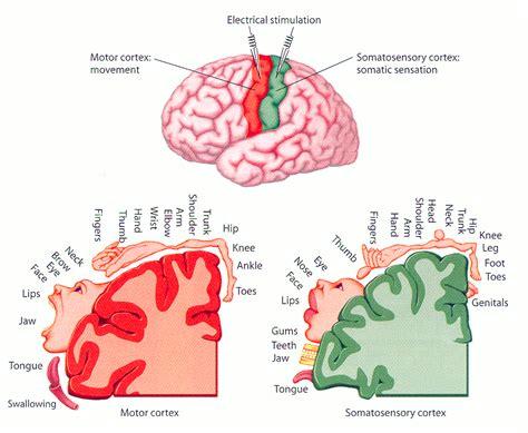 si鑒e des ノmotions dans le cerveau motricit 233 volontaire et plasticit 233 c 233 r 233 brale
