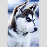 Cute Husky In Snow | 540 x 810 jpeg 71kB