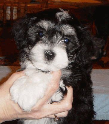 akc havanese breeders of merit 1000 images about havanese on westminster show and puppys