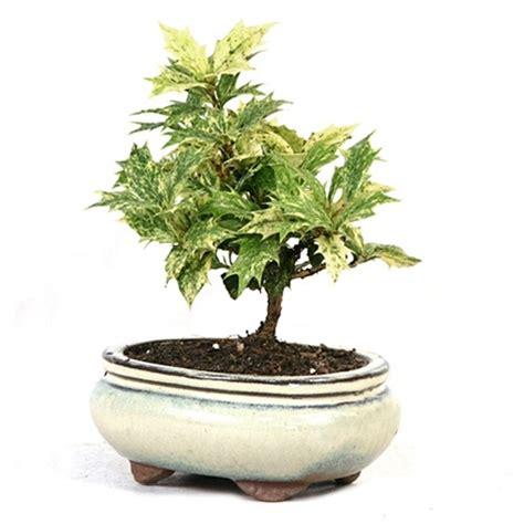 holly osmanthus heterophyllus holly bonsai tree