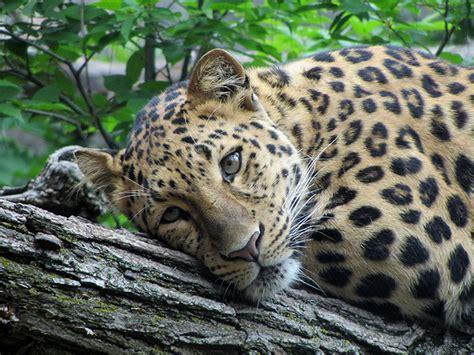 White 8 3 4 Macan Putih Sett Cadangan the animal wildlife macan tutul jawa java leopard panthera pardus melas