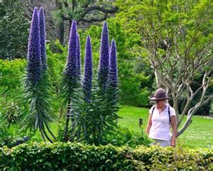 Flowers Nursery Online - gardensonline echium fastuosum syn candicans