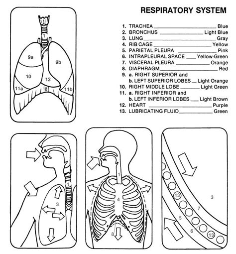 anatomy and physiology coloring workbook answers developmental aspects of the muscular system dover s sler human anatomy coloring book