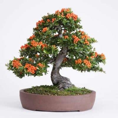 pyracantha in vaso piracanta abc do bonsai