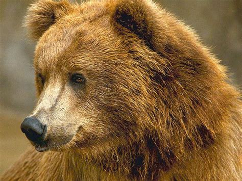 brown bear brown bear kodiak brown bear brown photo 28316979 fanpop
