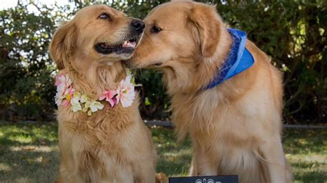 do golden retrievers like water golden retriever gets adorable maternity photo shoot and 11 puppies today