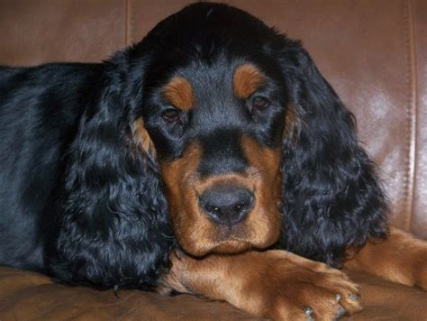 setter dogs for sale gordon setter puppies for sale in northern wisconsin