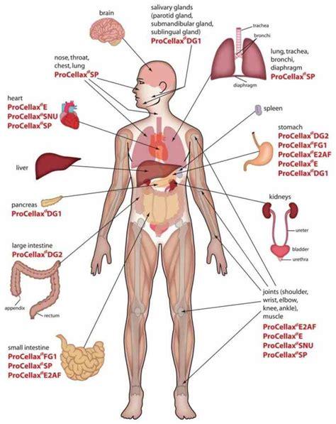 inside diagram diagram of inside human medicinebtg