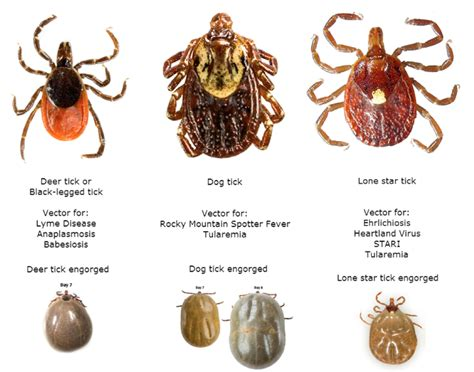 tick fever in dogs cape veterinary hospital tick information