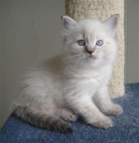 Ragdoll Kittens for Sale   Ragdoll Cat Breeder   San Diego