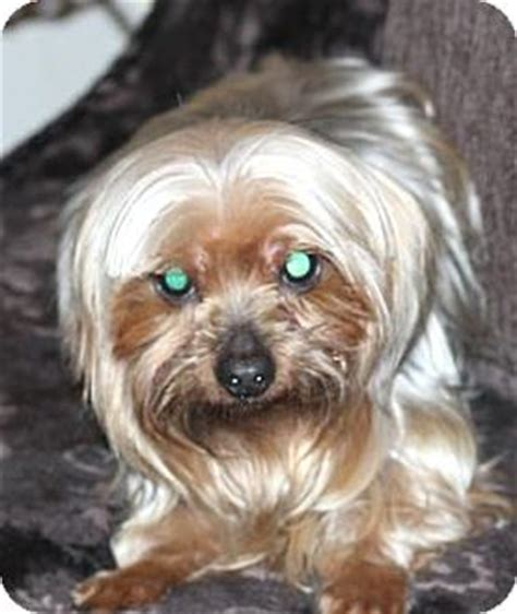 yorkie rescue atlanta atlanta ga yorkie terrier meet nessie a for adoption