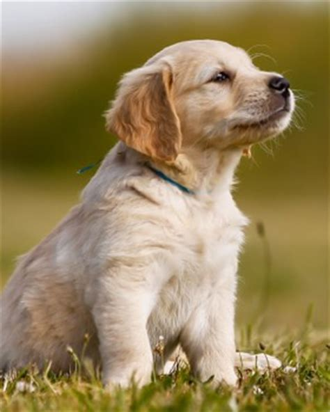 baby golden retriever cost chiot golden retriever 66 dogs in our photo