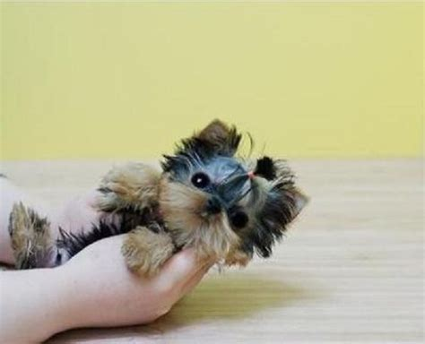 cheap teacup puppies micro teacup puppies yorkie and on