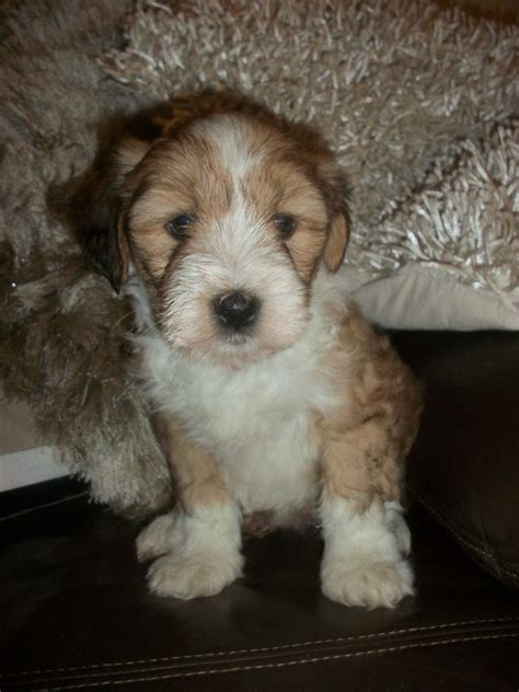 tibetan terrier puppies tibetan terrier puppies for sale tibetan terrier puppies for sale in breeds picture
