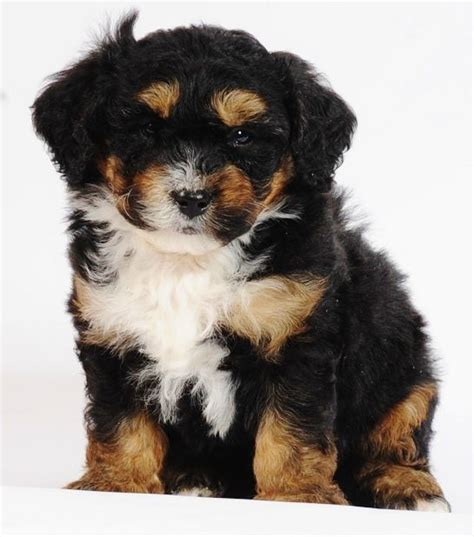 bernese mountain and poodle tiny bernedoodles bernese mountain poodle cross 10 25 lbs grown 10 14