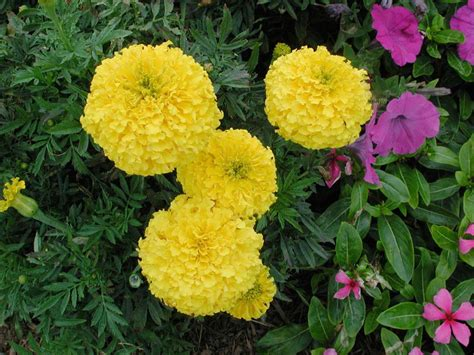 marigold moonstruck yellow annual flower research at